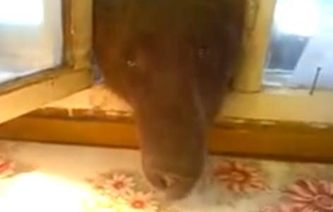 [動画] くまさんがキッチンの外に現れた!上目使いでごはんねだる姿はカワイイ?