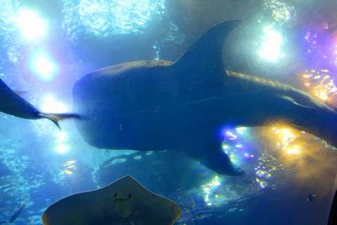 美ら海水族館、カフェで魚を見上げる