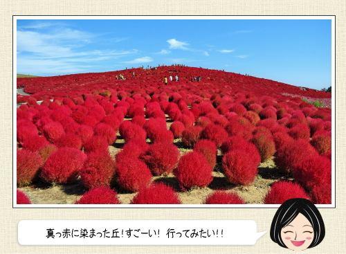 真っ赤なコキアで丘一面が染まる!茨城県ひたちなか市の海浜公園で