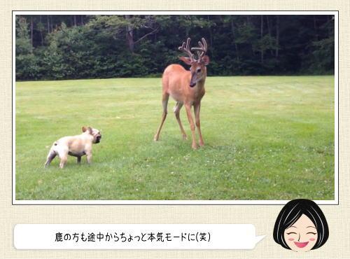 フレンチブルだって本気出したら鹿とも互角に戦えるんスよ
