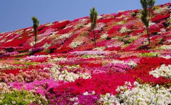 長崎 松本ツツジ園、美しすぎるつつじの絨毯