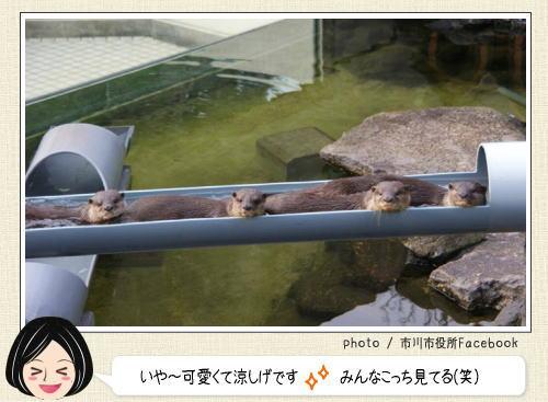 市川市動植物園、流しカワウソを始める。流れるかどうかはカワウソ次第
