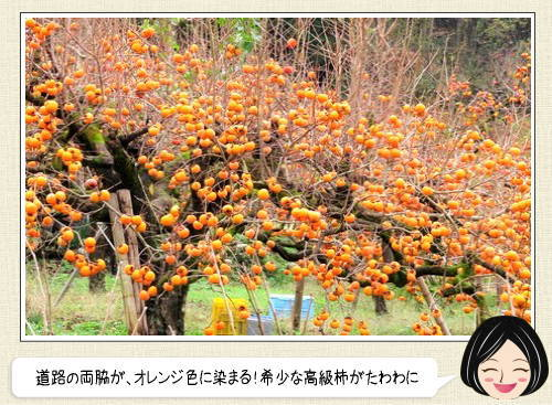 花御所柿で一面がオレンジ色に!鳥取県の高級かきで染まる風景