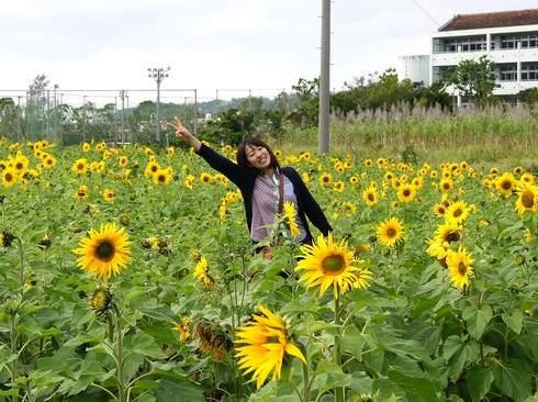 ひまわりin北中城、日本で一番早く咲くヒマワリ畑