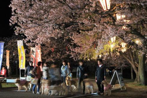 錦帯橋の桜 夜の部3