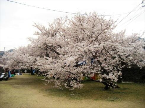 錦帯橋の桜 昼の部2