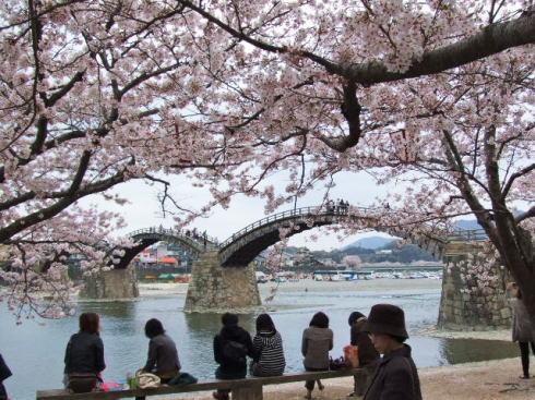 錦帯橋の桜 昼の部4