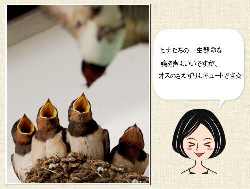 ツバメの鳴き声で感じる初夏、その声と「幸運の象徴」のワケ