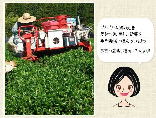 新茶の収穫最盛期はGW!福岡県八女市の風景