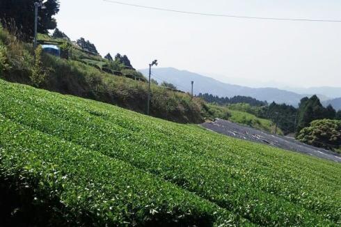 八女茶 新茶の収穫(茶摘み)の様子5