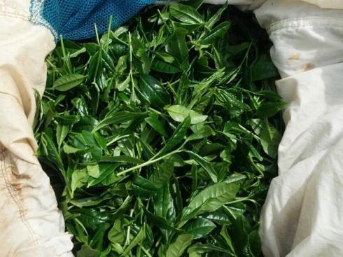八女茶 新茶の収穫(茶摘み)の様子15