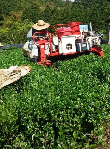 八女茶 新茶の収穫(茶摘み)の様子1