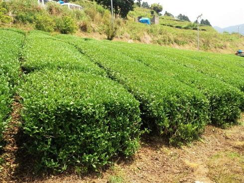 八女茶 新茶の収穫(茶摘み)の様子2