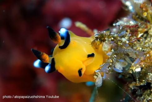 ピカチュウそっくりなウミウシが日本の海に!ダイバーに人気の『ウデフリツノザヤウミウシ』