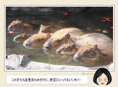 カピバラの露天風呂開き2016、20周年のゆず湯も!伊豆シャボテン公園