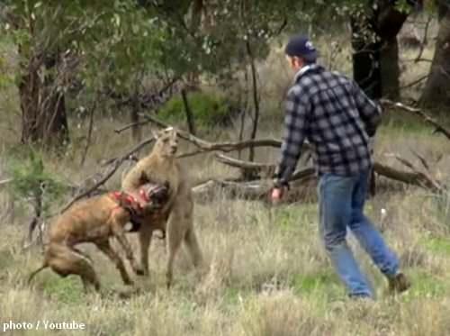 カンガルーに愛犬が襲われ…!助けに向かった男とマッチョカンガルーの対決