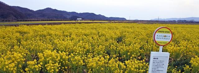 笠岡ベイファーム 菜の花が見頃