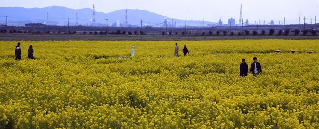 笠岡ベイファーム 菜の花フェスティバルでは、菜の花の摘み取りも