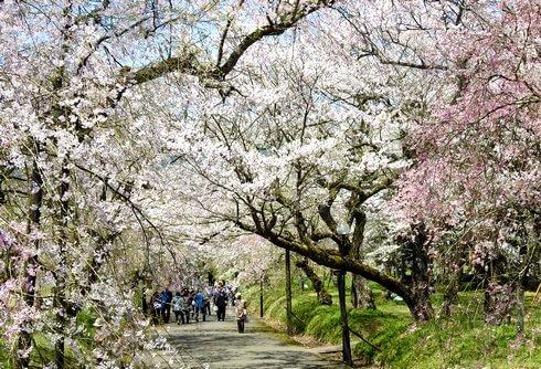 徳佐八幡宮 桜のトンネル