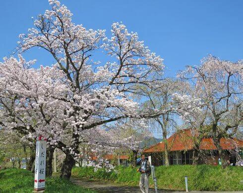 徳佐八幡宮 シダレザクラが有名な桜の名所