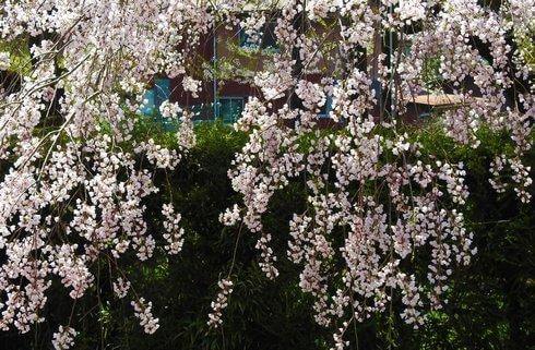 山口屈指の桜スポット、徳佐八幡宮