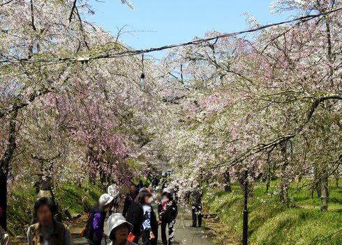 山口県しだれ桜の名所・徳佐八幡宮