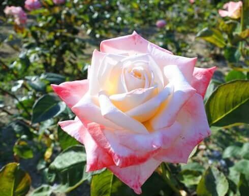 蜂ヶ峯総合公園に180種類のバラ4