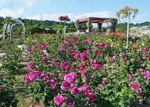 蜂ヶ峯総合公園のバラ園 満開の風景