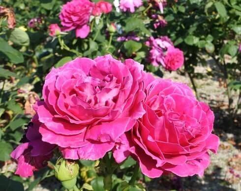 蜂ヶ峯総合公園に180種類のバラ
