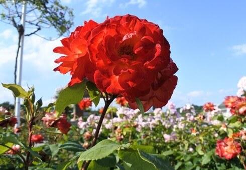 蜂ヶ峯総合公園に180種類のバラ2
