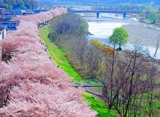 これは圧巻!桜並木が2.5km、幸せすぎる桜スポットが東京にある風景