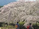 徳佐八幡宮の桜、370m続く枝垂桜のトンネルがお見事
