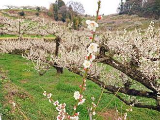 3万本の白梅に染まる梅の丘!谷川梅林が春らんまん