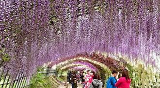 世界が認めた「日本の絶景」河内藤園・藤のトンネルが美しい