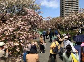 造幣局で遅咲きの桜楽しむ「花のまわりみち」広島で見頃へ