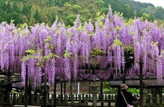 九州屈指の藤の花!黒木大藤の見事な花と香りに包まれる、素盞嗚神社