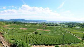 地元民も太鼓判の「八女中央大茶園」は茶畑が美しすぎる絶景スポット