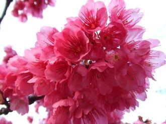 沖縄の桜・濃いピンクの寒緋桜(カンヒザクラ)が見ごろ、春を告げる八重岳のサクラ
