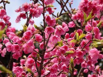 鹿児島に春、緋寒桜・河津桜など早咲き桜がポカポカ陽気で見頃に