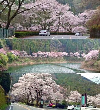 日向神ダムの千本桜、福岡・八女の桜の名所は湖・桜・奇石のコラボレーション