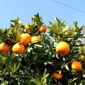 愛媛・柑橘の島で見た!奥深き「みかん」の種類と特徴
