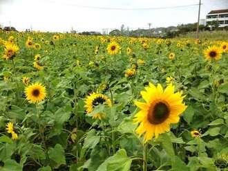 ひまわり開花!沖縄県北中城村に広がる夏の風景