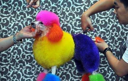 中国のペットブーム、派手な色に染められるペットたち
