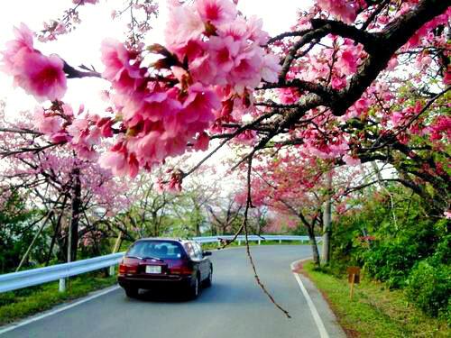 沖縄の桜 開花