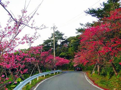 沖縄 桜祭り 開花1