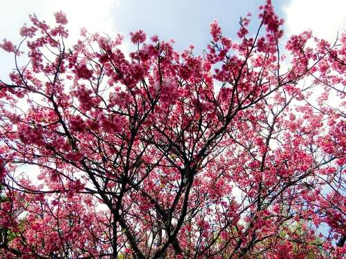 沖縄の桜 開花情報 2011