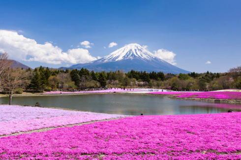 本栖湖 芝桜まつり、2014見ごろ・満開は5月中旬に