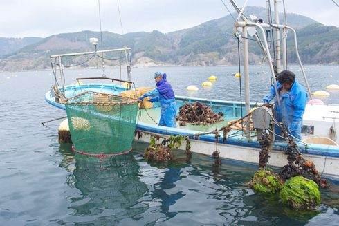 石巻で牡蠣の養殖