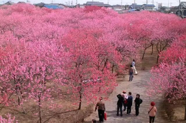 桃源郷、山梨県笛吹市の桃の花