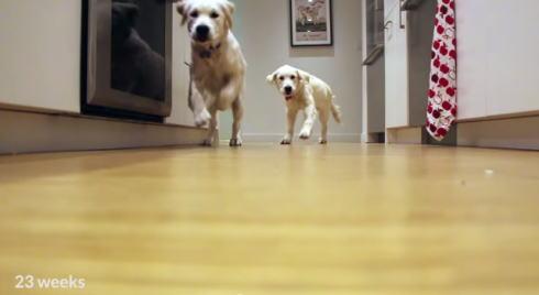 ゴールデンレトリバー タイムラプス動画のキャプチャ3